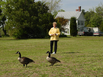 Photograph of Pat with Canada geese.
